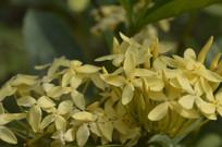 簇拥盛开的龙船花