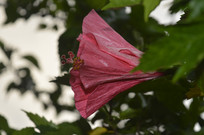 红色花朵扶桑花