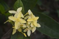 黄色仙丹花