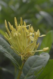 即将盛开的黄花英丹