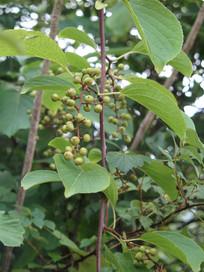 苦皮藤果实和枝叶