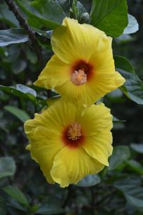 两朵黄色朱槿花