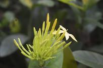 龙船花与花苞