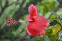 玫瑰红色扶桑花朵
