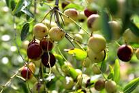 山区野生酸枣树上的酸枣