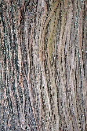 杉树皮纹理背景图