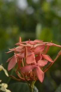 盛开的红色龙船花