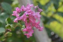 一簇紫薇花