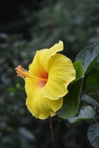 一朵黄扶桑花