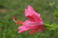 一朵美丽的扶桑花