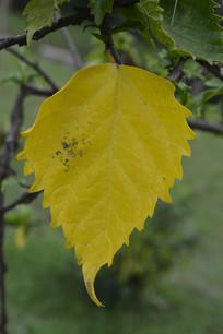 一片黄色的扶桑叶子