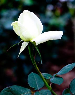 白玫瑰花朵特写