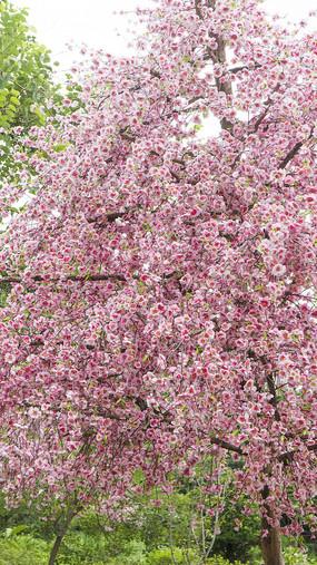 灿烂的日本樱花