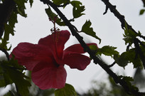 朝开暮落的红色花朵扶桑