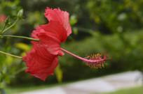 朝开暮落的红色朱槿花
