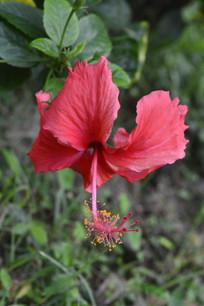 扶桑花花卉摄影图