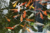 各种各样的金鱼