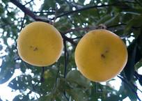挂在枝头的柚子