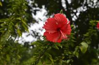 绚烂的红色扶桑花