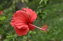 绚烂的红色花朵扶桑
