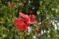 绚丽的红色扶桑花