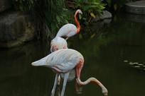 正在湖水中喝水的仙鹤