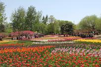 北京植物园的郁金香花海