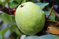 长在树上的梨