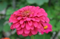 粉色的野花