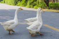 公路上的大白鹅
