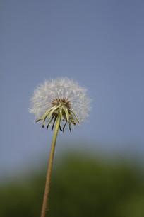 蓝天绿色背景的蒲公英花朵
