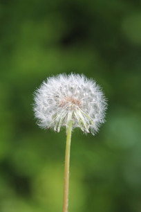 绿色背景的蒲公英花朵