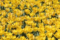 嫩黄色的郁金香花海