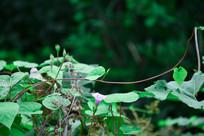 牵牛与藤蔓