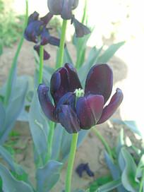 盛开的黑郁金香
