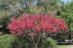 盛开的红桃花