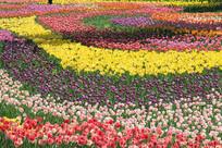 五色郁金香花朵花海