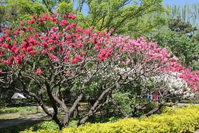 植物园的红桃花