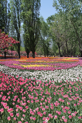 植物园郁金香花海花丛