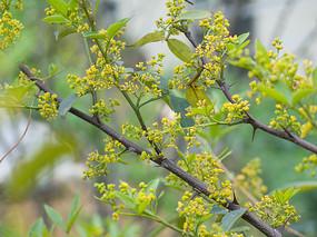 竹叶花椒开满黄色的小花