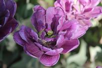紫色盛开的郁金香花心