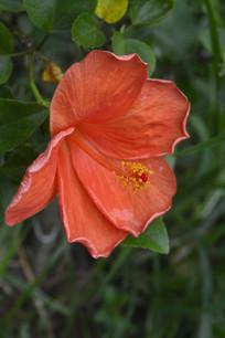 橙红色扶桑花