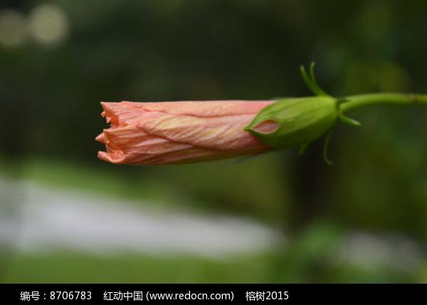 橙黄色扶桑花苞图片