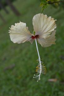 淡黄色单瓣扶桑花