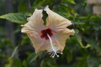 淡黄色扶桑花朵