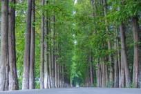 道路树林杉树