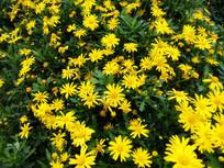大片盛开的黄金菊