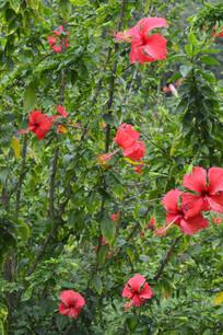 扶桑花朵与树枝