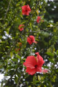 扶桑花与花枝