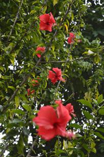 扶桑树与扶桑花